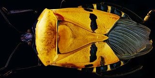 'Man-faced' beetle panorama | by Aenima micro