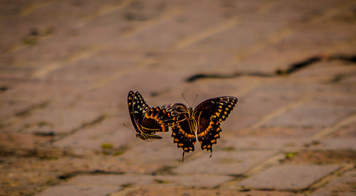 Dueling Butterflies | by mikemac29