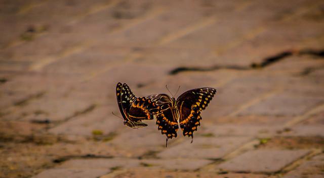 Dueling Butterflies