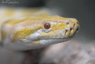 Boa constrictor | by Gabriel Paladino Photography