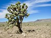 Joshua Tree by alain.couvez