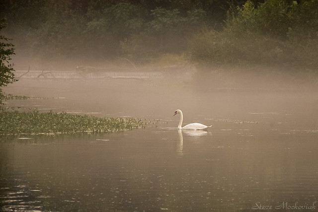 Swan on the Ramapo River_4481