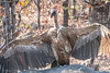 White- Backed Vulture - considered Critically Endangered by sharon.verkuilen