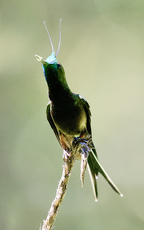 Wire-crested Thorntail, Discosura popelairii 199A6625