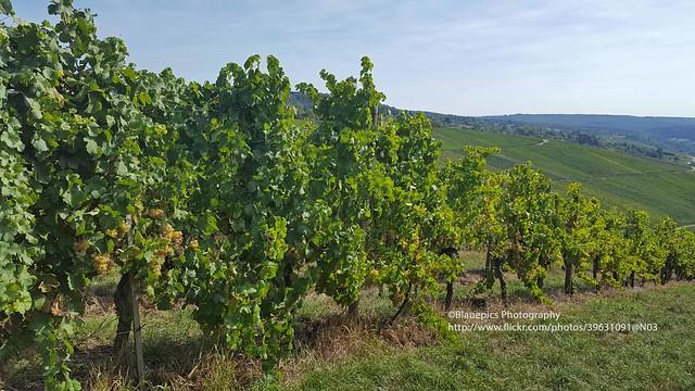 Schnait, vineyards