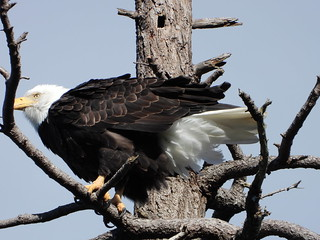 october 2 2018 15:29 - Eagle in The Babysitting Tree | by boonibarb
