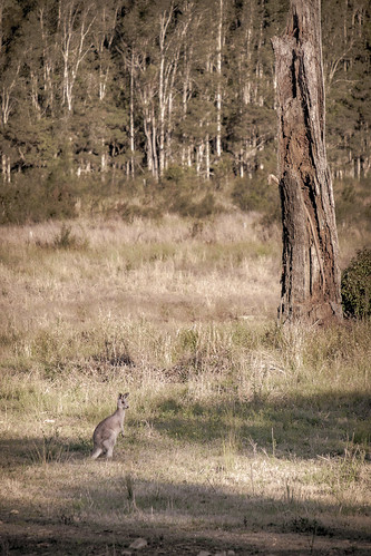 australianwildlife australianfauna fauna kangaroo deadtree trees grass afternoon portmacquarie nsw australia vintage australianscene