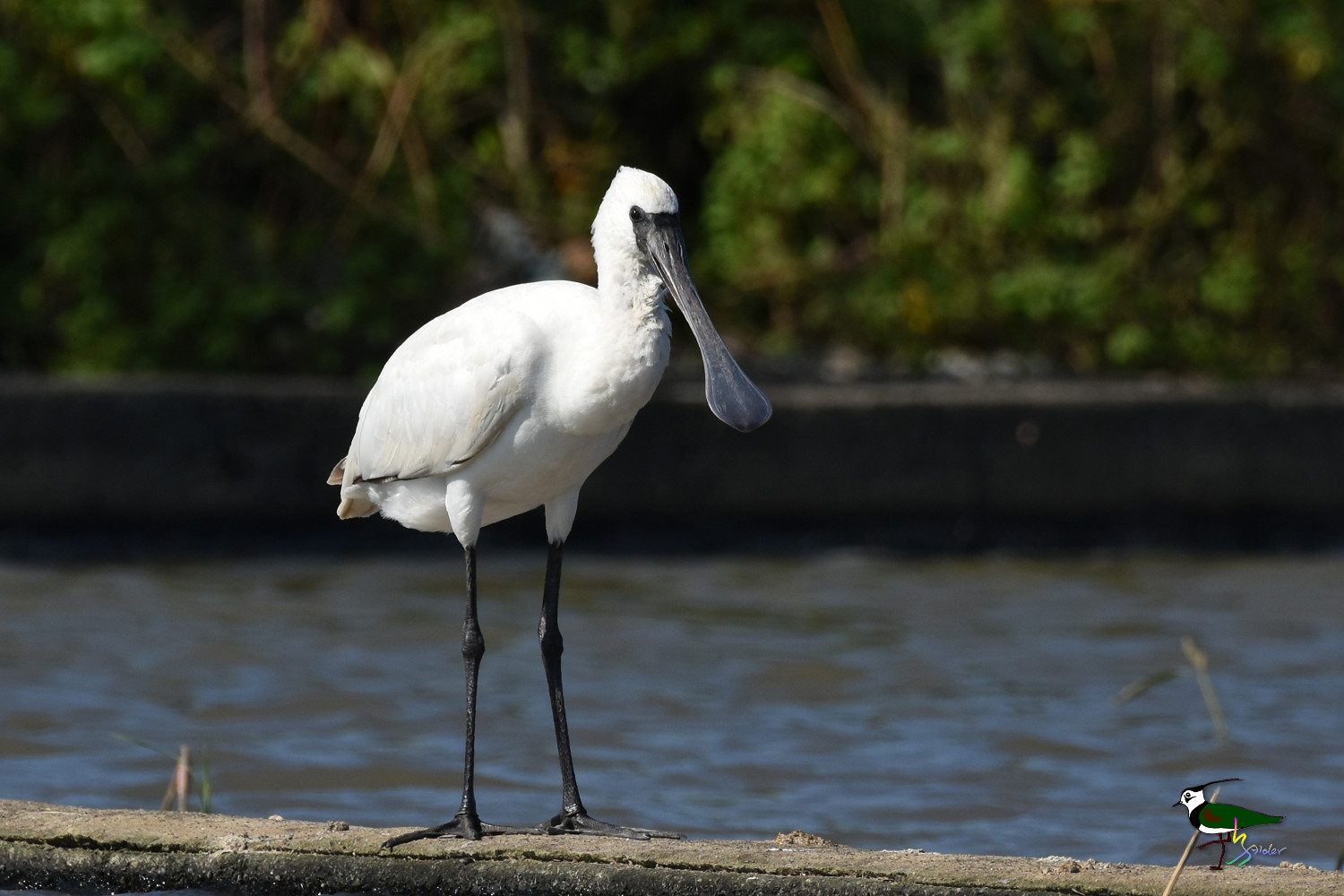 Black-faced_Spoonbill_0436