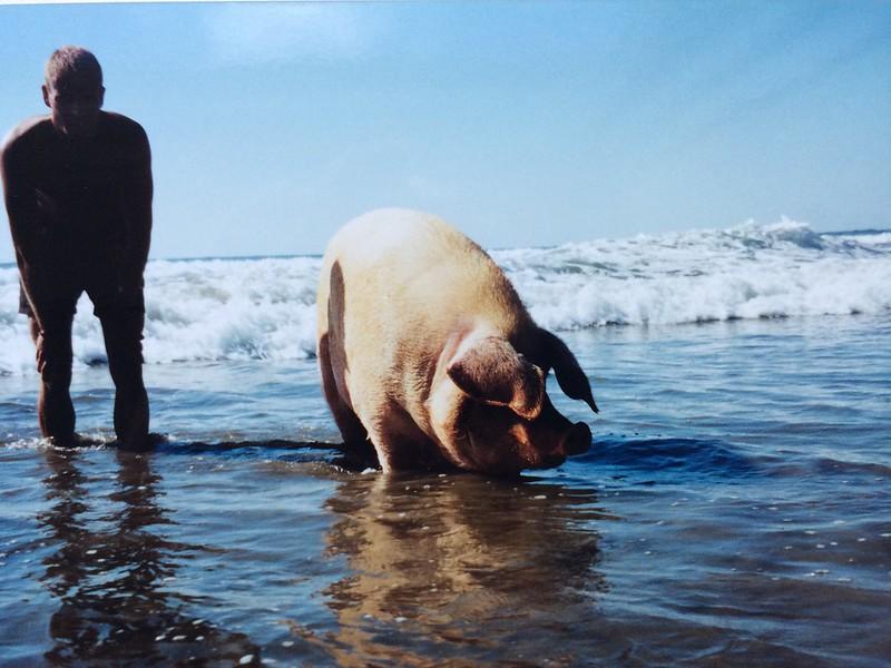 Lola, en kæmpe gris, som lever ved Playa Avellanas. Det har den gjort i årevis.