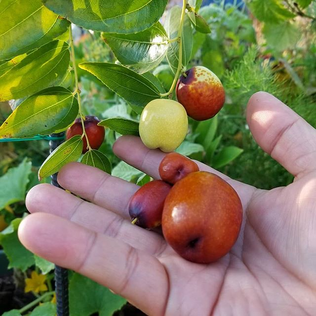 Today's harvest: the first batch of our new Li Jujube from our new tree. #JoelsHarvest #harvest #lijujube #jujube