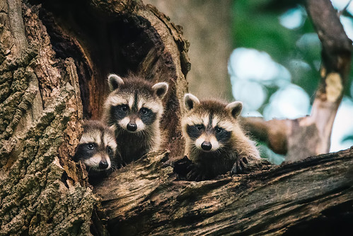 Photo of three baby raccoons in a tree
