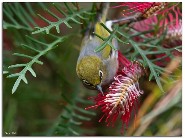 Silvereye on Grevillea Flower
