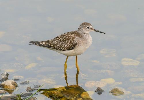 lesseryellowlegs tringaflavipes charadriiformes shorebird bird nearctic edmonton alberta canada animalplanet