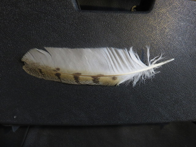 Barn Owl wing feather 20181009