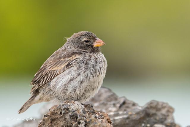 Small Ground Finch - Female 500_4730.jpg