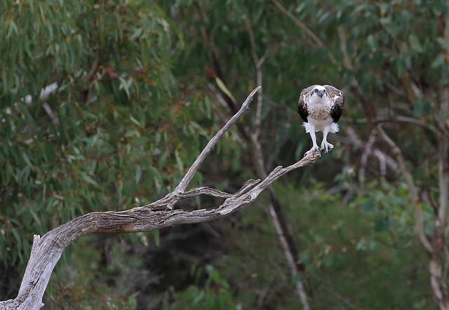 Balbuzard d'Australie - Alfred Cove Nature Reserve/Perth/WA/Australia_20170318_032-1