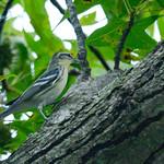 Cerulean Warbler (rare)