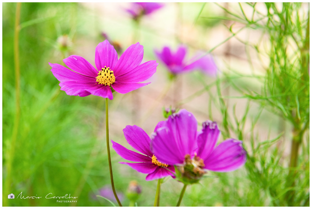 Cosmos flower - D81_1327
