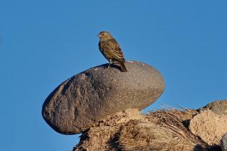 Оливковый сикалис, Sicalis olivascens olivascens, Greenish Yellow-Finch | by Oleg Nomad