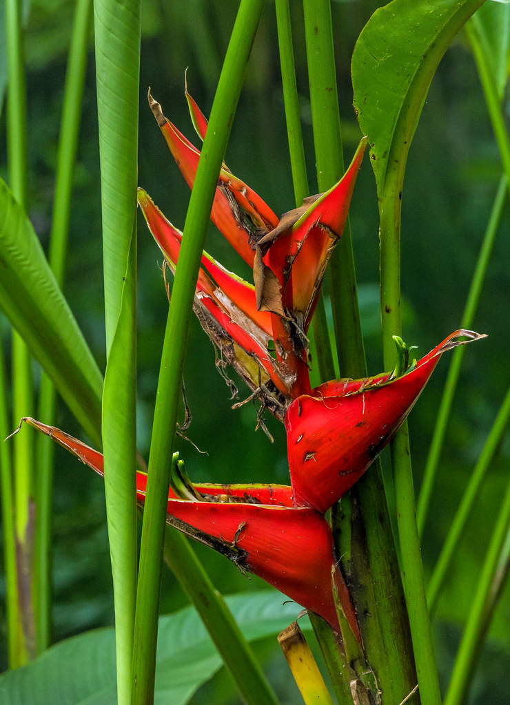 Heliconia bihai - Singapore Botanic Gardens