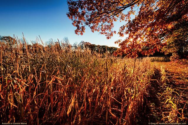 Grain Corn in Maine Field