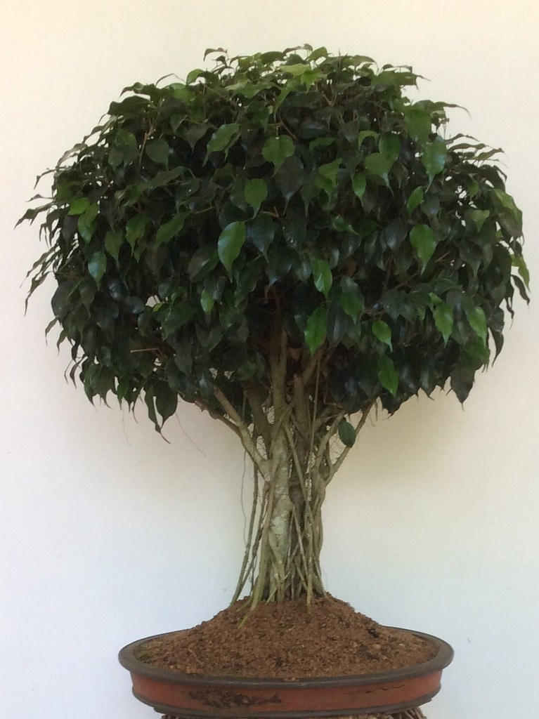 Ficus benjamina bonsai, broom style, more than ten years old, updated on 25.09.2018 -