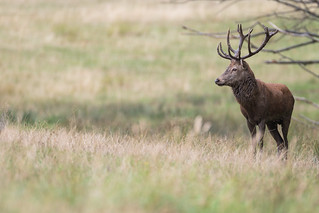 Young Red Deer Stag | by The Wasp Factory