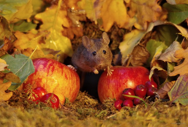 Autumn mouse  with apples  (3)