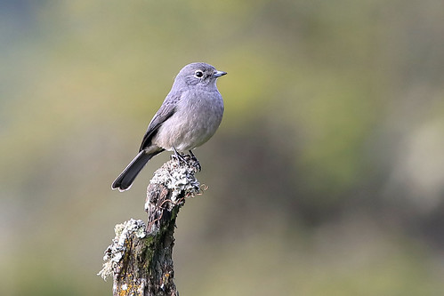 White-eyed slaty flycatcher | by dmmaus