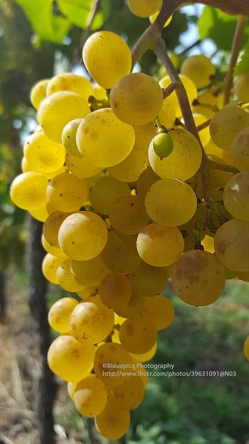 Schnait, grapes