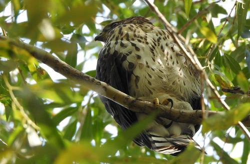 bird birdofprey coopershawk confederationpark