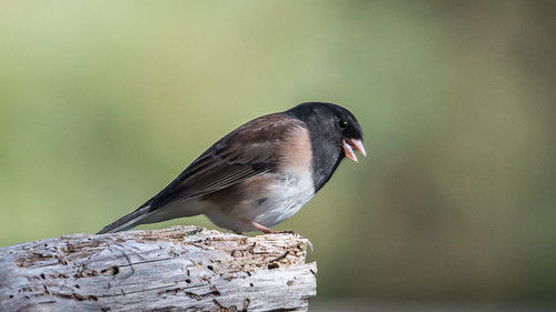 britishcolumbia canada northamerica sechelt secheltmarsh sunshinecoast bird darkeyedjunco fauna junco
