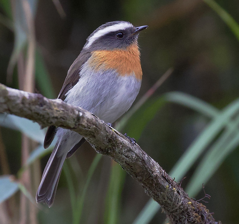 Rufous-breasted Chat-Tyrant, Ochthoeca rufipectoralis 199A5575