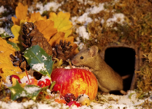 Christmas winter mouse with snow and apple  (1)