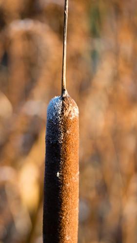 Bullrush, touch of autumn frost