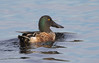 Northern Shoveler by vischerferry