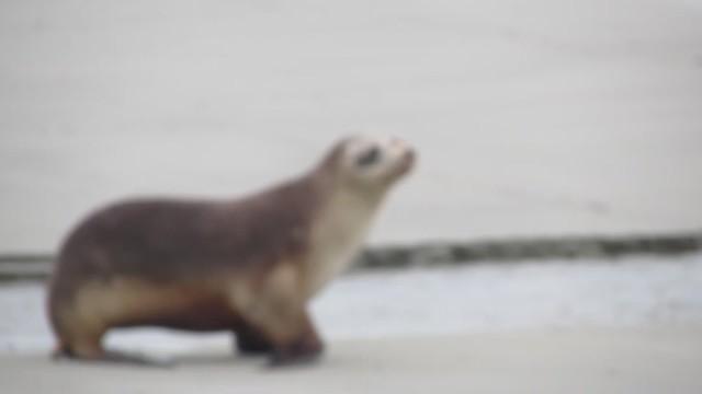 Sea Lion Walking on the Beach