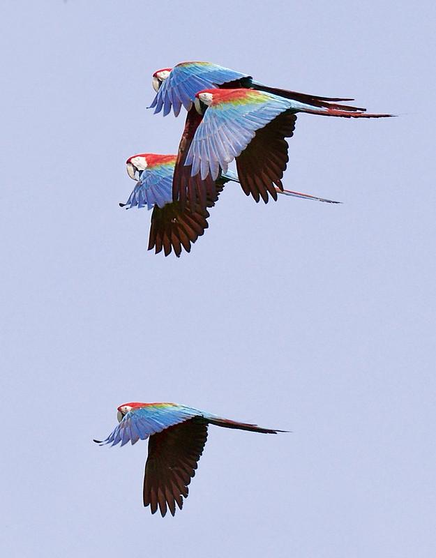 Red-and-green Macaw, Ara chloropterus 199A8469