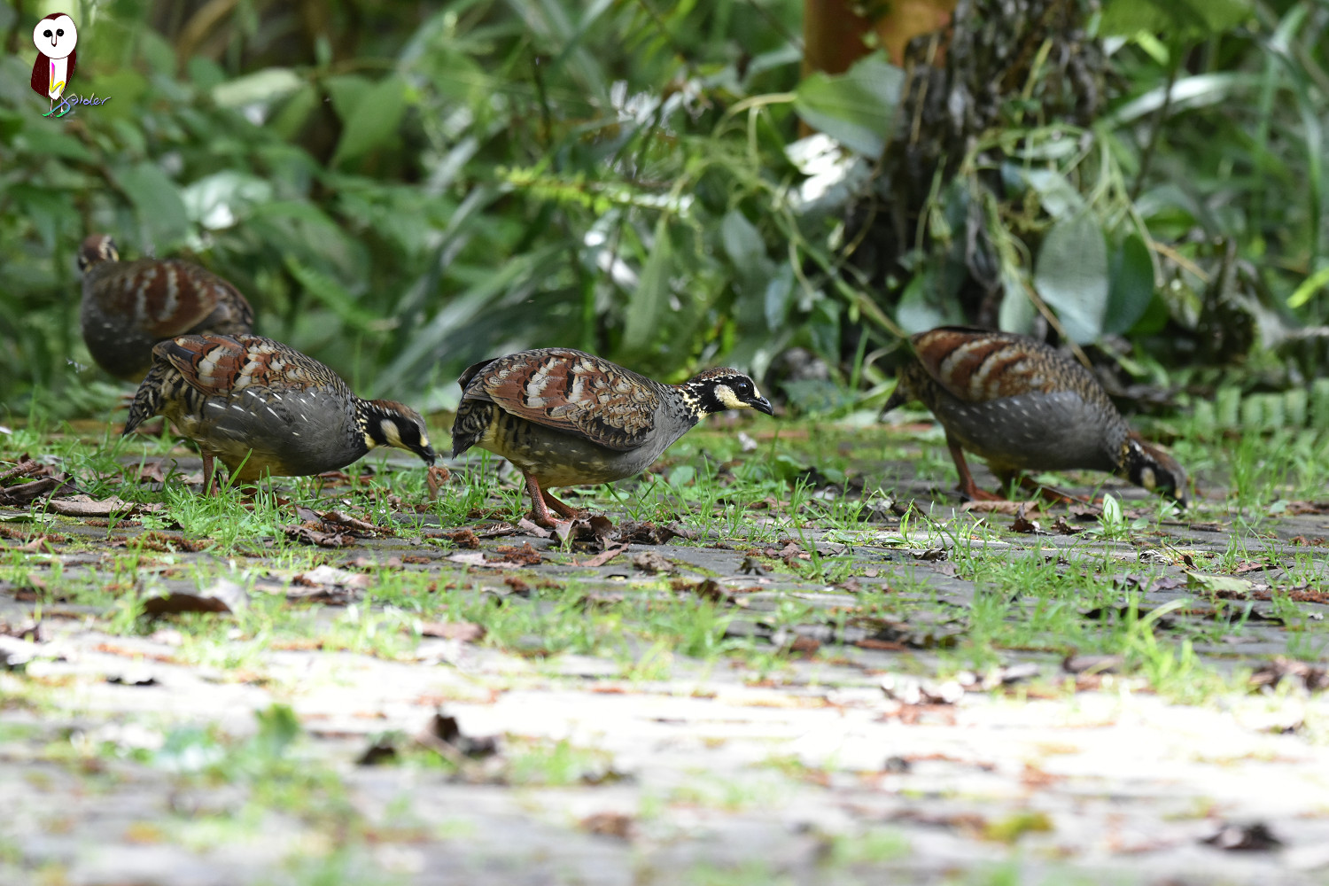 Taiwan_Hill_Partridge_7509