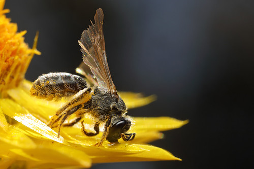 Megachilid bee, after encounter with a flower spider