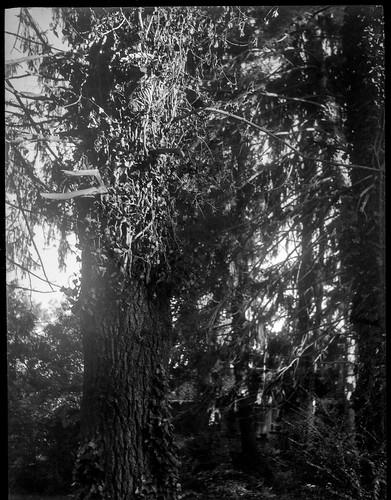 trees lookingup latelight nearsunset flare westasheville northcarolina zenobia kodaktmax400 kodaktmaxdeveloper 6x45 film 120 120film mediumformat monochrome monochromatic blackandwhite landscape