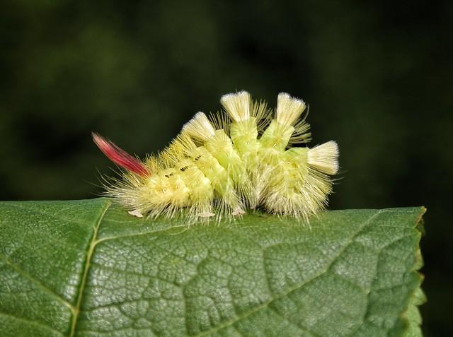 Calliteara pudibunda (Štětconoš ořechový)