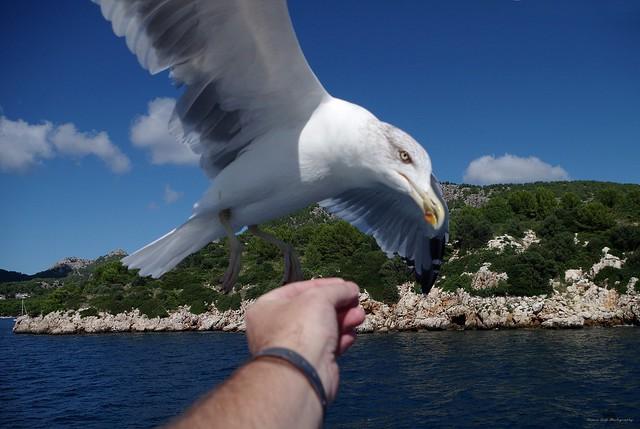 Gull in flight feeding from hand  (2)
