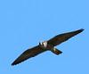 Faucon pélerin, Peregrine Falcon by Serge Rivard