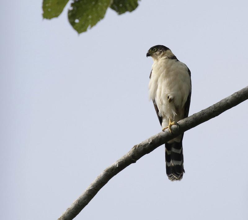 Bicolored Hawk, Accipiter bicolor 199A9677