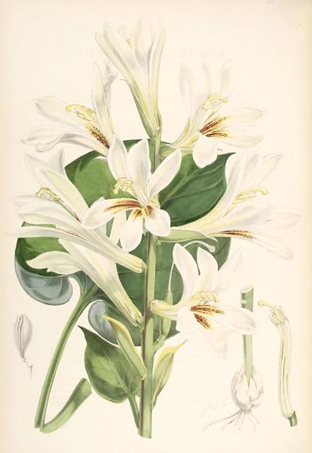 Lillies Monograph 38