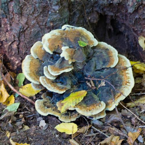 Autumn fungi: dyer's polypore