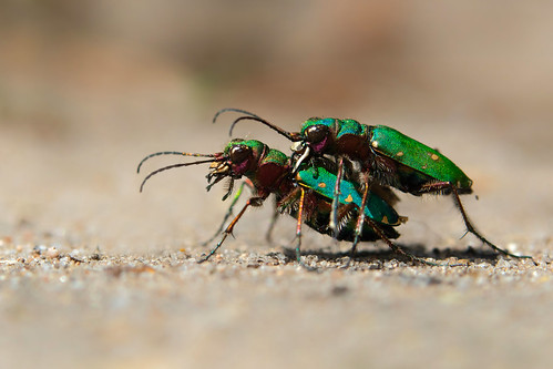 Green Tiger-beetle (Cicindela campestris) | by Photography by Matt Latham