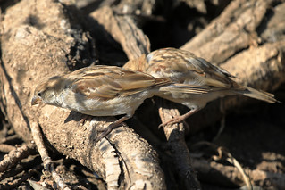 House sparrows | by dmmaus