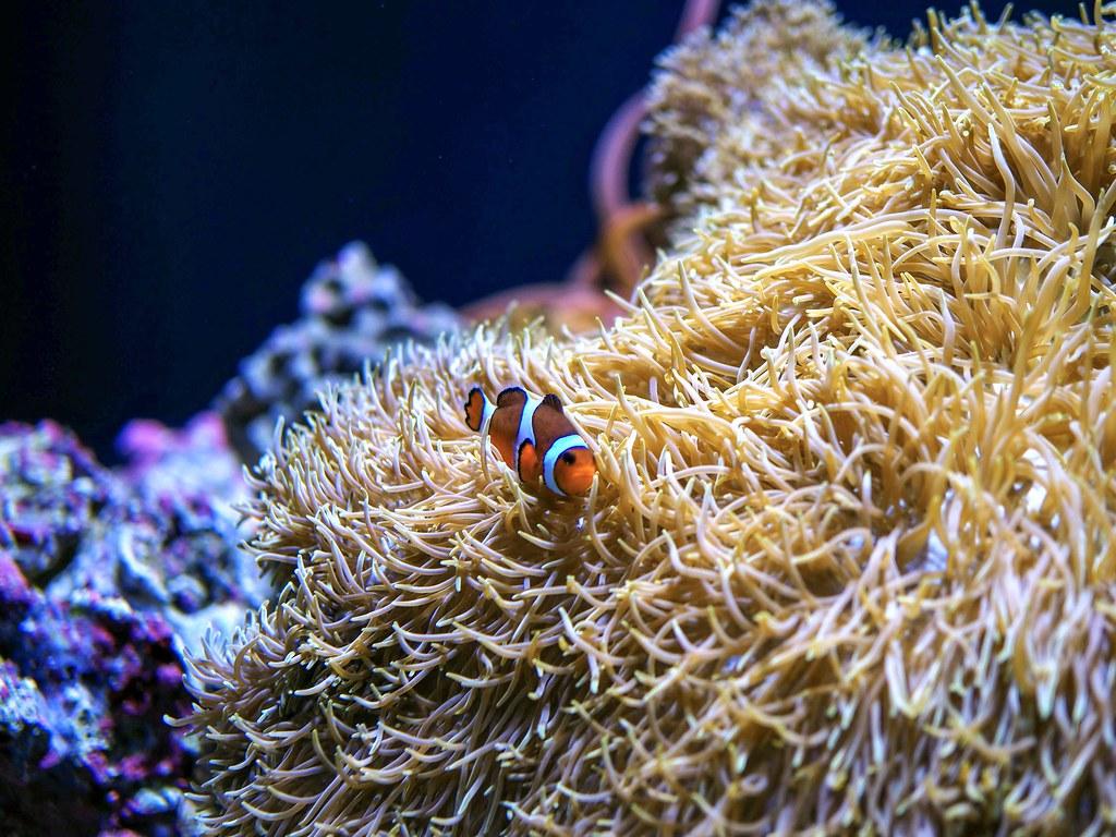 Clown fish at the aquarium